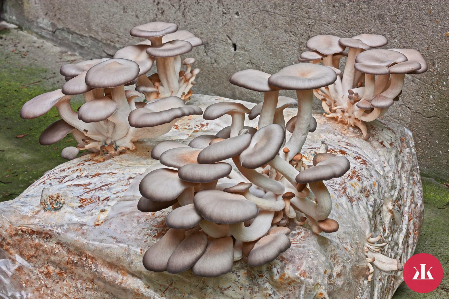 21f5766c1 Hliva ustricová: Prekvapenie prírody pre tvoju imunitu a kuchyňu ...