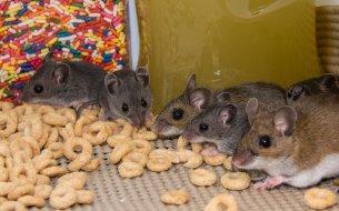 Návod, ako sa zbaviť myší v dome: Čo robiť, ak ťa sužujú hlodavce?