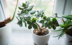 Ako pestovať tučnolist? Zabezpeč svojmu sukulentu top starostlivosť!