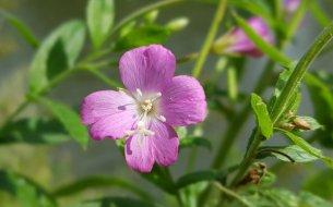 Skvelá bylinka na problémy s močovými cestami: Ešte si o nej nepočula?