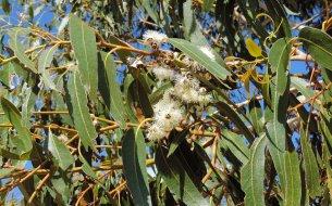 Ako podporiť vykašliavanie? Dýchacím cestám pomôžu listy tejto známej rastliny!